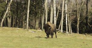 Een eenzame gebiedsbuffel in een dalingslandschap Stock Foto's