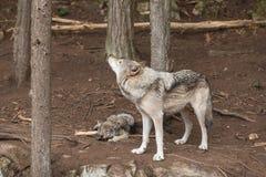 Een Eenzame Houtwolf in een bos Stock Afbeeldingen