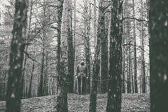 Een eenzame kerel in een pijnboombos in de de herfsttijd zwart-wit Stock Foto's