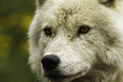 Een eenzame Noordpoolwolf Royalty-vrije Stock Afbeeldingen