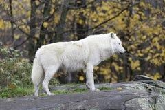 Een eenzame Noordpoolwolf Stock Afbeeldingen