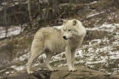 Een eenzame Noordpoolwolf in daling Royalty-vrije Stock Afbeelding