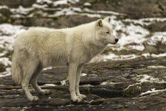 Een eenzame Noordpoolwolf in daling Stock Foto