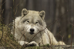 Een eenzame Noordpoolwolf in daling Royalty-vrije Stock Foto