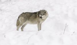 Een eenzame Noordpoolwolf in daling Royalty-vrije Stock Foto's