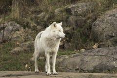 Een eenzame Noordpoolwolf in daling Stock Foto's