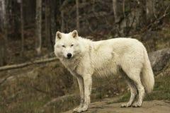 Een eenzame Noordpoolwolf in daling Stock Fotografie
