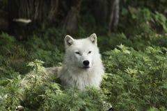 Een eenzame Noordpoolwolf die op een in de schaduw gesteld gebied rusten Royalty-vrije Stock Foto's