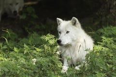Een eenzame Noordpoolwolf die op een in de schaduw gesteld gebied rusten Stock Fotografie