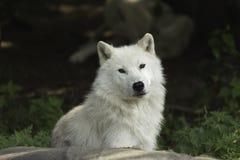 Een eenzame Noordpoolwolf die op een rots rusten Royalty-vrije Stock Foto