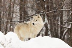 Een eenzame Noordpoolwolf in het hout Royalty-vrije Stock Fotografie