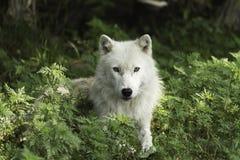 Een eenzame Noordpoolwolf in sommige bladeren Stock Foto