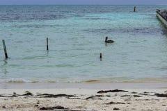 Een eenzame pelikaan zwemt in de turkooise wateren van de Caraïben Stock Fotografie
