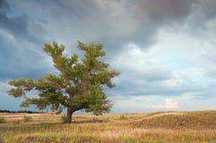 Een eenzame populier in steppe Stock Fotografie
