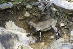 Een eenzame Steenbok op een klip Royalty-vrije Stock Foto's