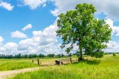 Een Eenzame Stier zit in de Schaduw van een Boom stock foto's