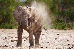 Een eenzame Stierenolifant die een stofbad in Zuiden Luangwa Nationa hebben; Park stock foto's