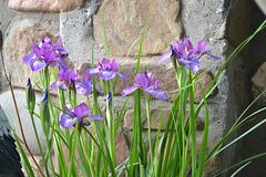 Een eenzame struik van iris zal goed tegen de achtergrond van een gazon of een muur kijken royalty-vrije stock afbeelding