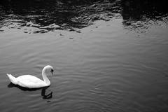 Een eenzame zwaan Stock Afbeelding