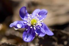 Een eerste de lentebloesem Stock Fotografie