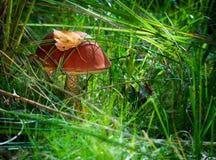Een eetbare esppaddestoel met een rode hoed groeit in het gras royalty-vrije stock fotografie