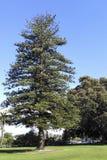 Een eeuw oude het Eilandpijnboom van Norfolk, Camarillo, CA Stock Foto