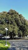 Een eeuw oude Moreton-Baaivijgeboom, Camarillo, CA Stock Foto's