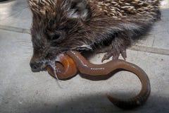 Een egel die een worm eten Stock Foto