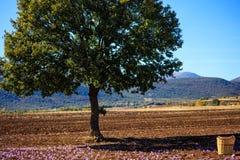 Een eiken boom en een rieten mand op een saffraangebied in oogsttijd Stock Afbeeldingen