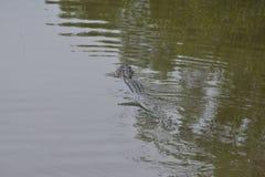 Een eilandgator zwemt terug naar zijn favoriet gat aan zon zelf op een moeraswaterweg royalty-vrije stock fotografie