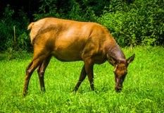 Een eland in het gras bij het Nationale Park van Great Smoky Mountains, Nort Royalty-vrije Stock Fotografie
