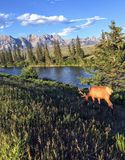 Een eland met grote geweitakken die naast een rivier met Rocky Mountains op de achtergrond in Jasper National Park, Alberta, Cana royalty-vrije stock afbeelding