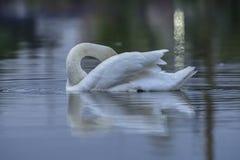 Een elegante zwaan stock foto