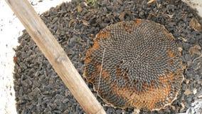 Een emmer zonnebloemzaden het hoofd van een zonnebloem en een stok voor uit het kloppen stock videobeelden