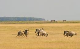 Een en groep die Wildebeest loopt speelt. Stock Foto