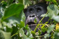 Een engelachtige gorilla in impenatrable het meest forrest van Oeganda royalty-vrije stock afbeelding