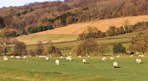 Een Engels Landelijk Landschap met rijpend Graan Stock Foto