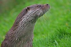 Een Engelse otter die waakzaam kijken royalty-vrije stock afbeeldingen