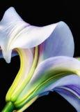 Een enkel Lilly Stock Afbeelding