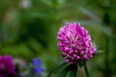 Een enkel purpere wildflower Royalty-vrije Stock Foto's