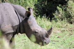 Een enkel Rinoceros Stock Foto