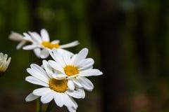 Een enkel witte wildflower Stock Afbeeldingen