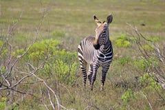 Een enkel Zebra Stock Afbeeldingen