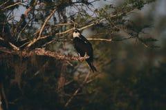Een ernstige adelaar die op een tak rusten stock afbeeldingen