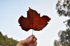Een esdoornblad door een hand tegen de duidelijke hemel wordt gehouden die stock foto's