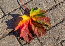 Een esdoornblad ligt op een steenbestrating Rood-oranje-geel-groen de herfstblad royalty-vrije stock fotografie