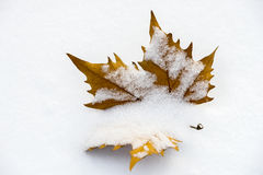 Een esdoornverlof onder de sneeuw royalty-vrije stock fotografie