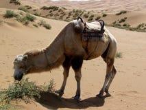 Een etende kameel Royalty-vrije Stock Foto