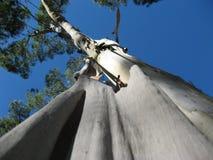 Een eucalyptus die zijn schors afwerpen stock foto