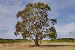 Een Eucalyptusboom in een wijngaard Stock Foto